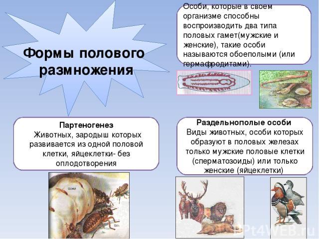 Формы полового размножения Особи, которые в своем организме способны воспроизводить два типа половых гамет(мужские и женские), такие особи называются обоеполыми (или гермафродитами). Раздельнополые особи Виды животных, особи которых образуют в полов…