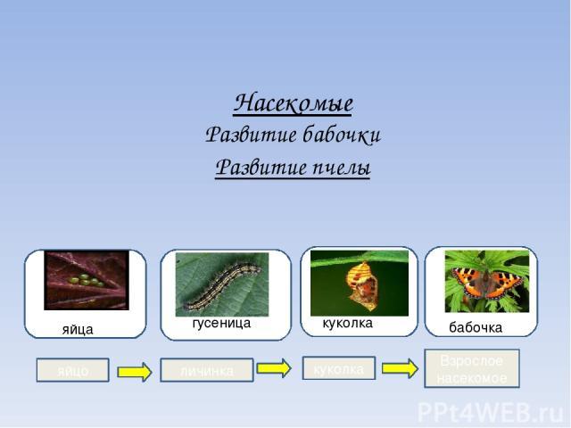 Насекомые Развитие бабочки Развитие пчелы гугу гусеница яя яйца куколка бабочка яйцо личинка куколка Взрослое насекомое