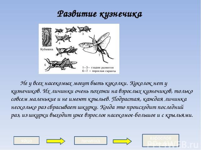 Развитие кузнечика Не у всех насекомых могут быть куколки. Куколок нет у кузнечиков. Их личинки очень похожи на взрослых кузнечиков, только совсем маленькие и не имеют крыльев. Подрастая, каждая личинка несколько раз сбрасывает шкурку. Когда это про…