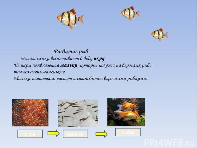 Развитие рыб Весной самки выметывают в воду икру. Из икры появляются мальки, которые похожи на взрослых рыб, только очень маленькие. Мальки питаются, растут и становятся взрослыми рыбками. икра рыбы мальки