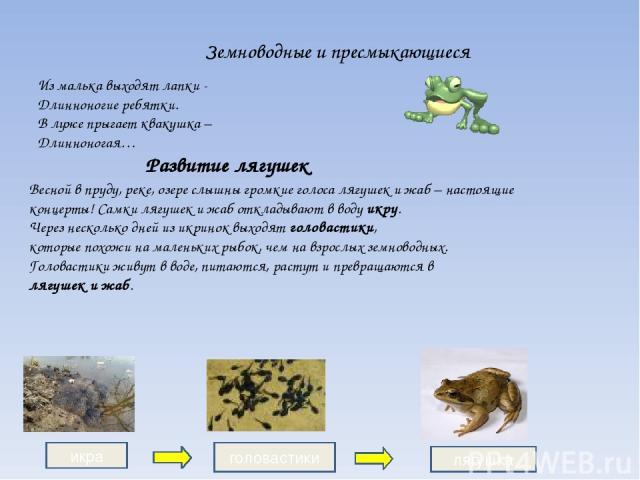 Земноводные и пресмыкающиеся Развитие лягушек Весной в пруду, реке, озере слышны громкие голоса лягушек и жаб – настоящие концерты! Самки лягушек и жаб откладывают в воду икру. Через несколько дней из икринок выходят головастики, которые похожи на м…
