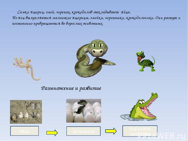 Самки ящериц, змей, черепах, крокодилов откладывают яйца. Из яиц вылупляются маленькие ящерицы, змейки, черепашки, крокодильчики. Они растут и постепенно превращаются во взрослых животных. яйца детеныши Взрослое животное Размножение и развитие
