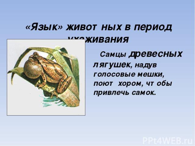 «Язык» животных в период ухаживания Самцы древесных лягушек, надув голосовые мешки, поют хором, чтобы привлечь самок.