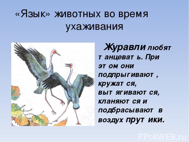 «Язык» животных во время ухаживания Журавли любят танцевать. При этом они подпрыгивают, кружатся, вытягиваются, кланяются и подбрасывают в воздух прутики.