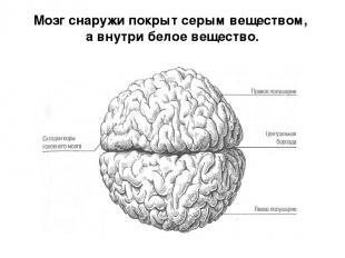 Мозг снаружи покрыт серым веществом, а внутри белое вещество.