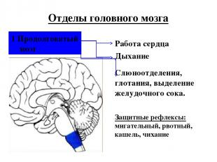 1 Продолговатый мозг Отделы головного мозга Работа сердца Дыхание Слюноотделения