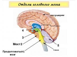 Мозолистое тело 1 Продолговатый мозг 2 Мост 3 1 4 5 Большое полушарие
