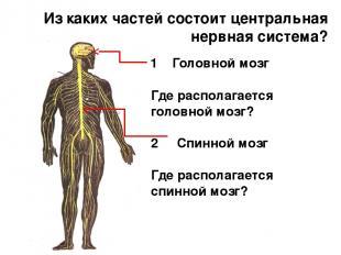 Из каких частей состоит центральная нервная система? Где располагается головной