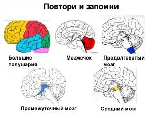 Большие полушария Мозжечок Продолговатый мозг Промежуточный мозг Средний мозг По
