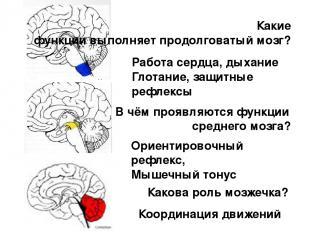 Какие функции выполняет продолговатый мозг? В чём проявляются функции среднего м