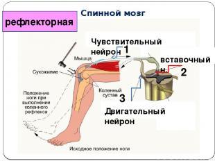 рефлекторная Двигательный нейрон Чувствительный нейрон вставочный н. 3 1 2