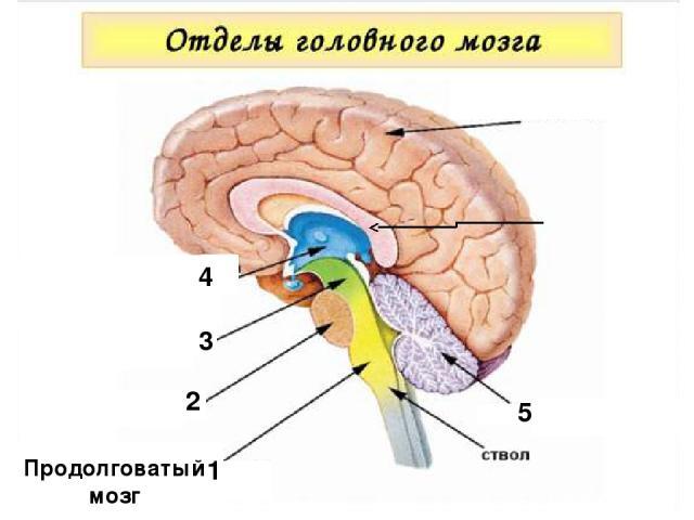 1 Продолговатый мозг 2 3 1 4 5