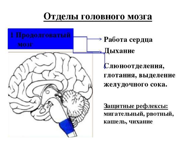 1 Продолговатый мозг Отделы головного мозга Работа сердца Дыхание Слюноотделения, глотания, выделение желудочного сока. Защитные рефлексы: мигательный, рвотный, кашель, чихание