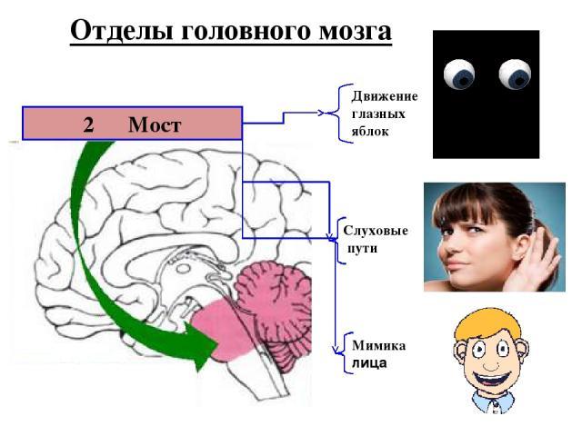 2 Мост Движение глазных яблок Слуховые пути Мимика лица Отделы головного мозга