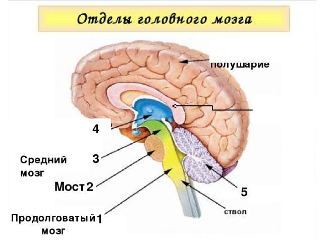 Мозолистое тело 1 Продолговатый мозг 2 Мост 3 1 Средний мозг 4 5 Большое полушарие