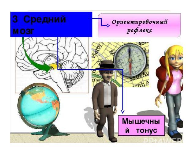 Мышечный тонус 3 Средний мозг