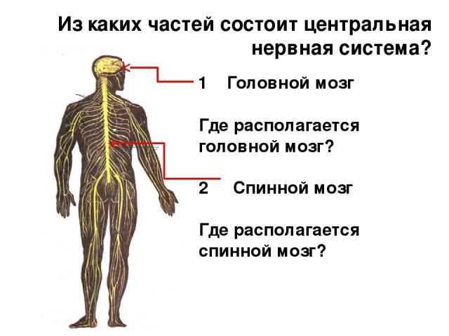 Из каких частей состоит центральная нервная система? Где располагается головной мозг? 2 Спинной мозг Где располагается спинной мозг? 1 Головной мозг