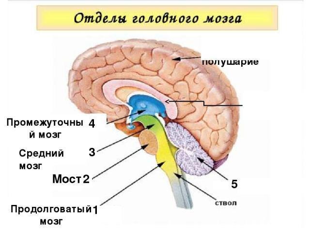 Мозолистое тело 1 Продолговатый мозг 2 Мост 3 1 Средний мозг Промежуточный мозг 4 5 Большое полушарие