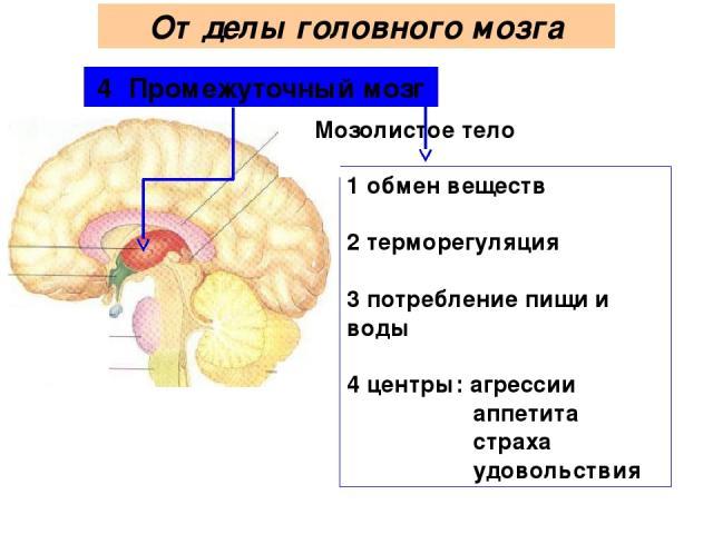 4 Промежуточный мозг 1 обмен веществ 2 терморегуляция 3 потребление пищи и воды 4 центры: агрессии аппетита страха удовольствия Мозолистое тело Отделы головного мозга