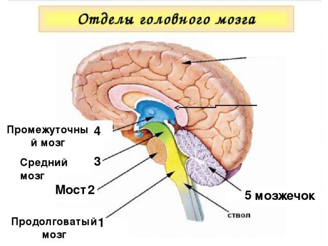 1 Продолговатый мозг 2 Мост 3 1 Средний мозг Промежуточный мозг 4 5 мозжечок