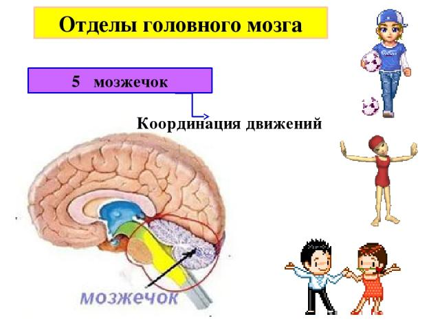 Отделы головного мозга 5 мозжечок Координация движений