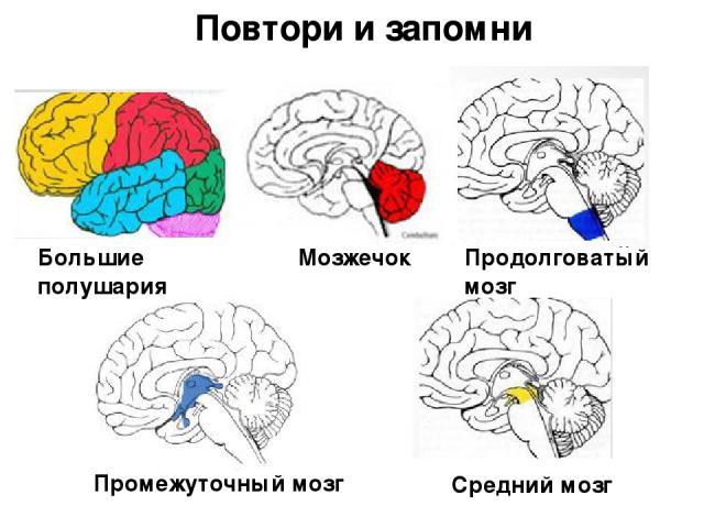 Большие полушария Мозжечок Продолговатый мозг Промежуточный мозг Средний мозг Повтори и запомни