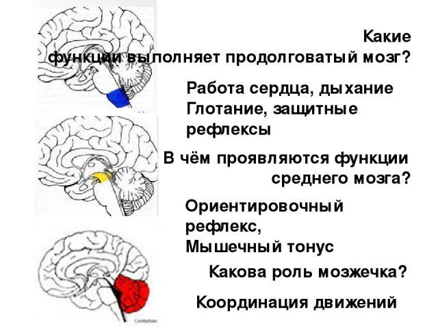 Какие функции выполняет продолговатый мозг? В чём проявляются функции среднего мозга? Какова роль мозжечка? Работа сердца, дыхание Глотание, защитные рефлексы Ориентировочный рефлекс, Мышечный тонус Координация движений