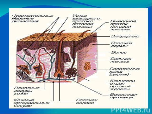 Свойства кожи. Кожа гладкая, упругая, эластичная Имеет розовый цвет благодаря разветвлению в ней мелких кровеносных сосудов и капилляров, наряду с которыми просвечивают венозные (голубые) сосуды На ладони- мягкие подушечки пальцев, защищенные гладки…