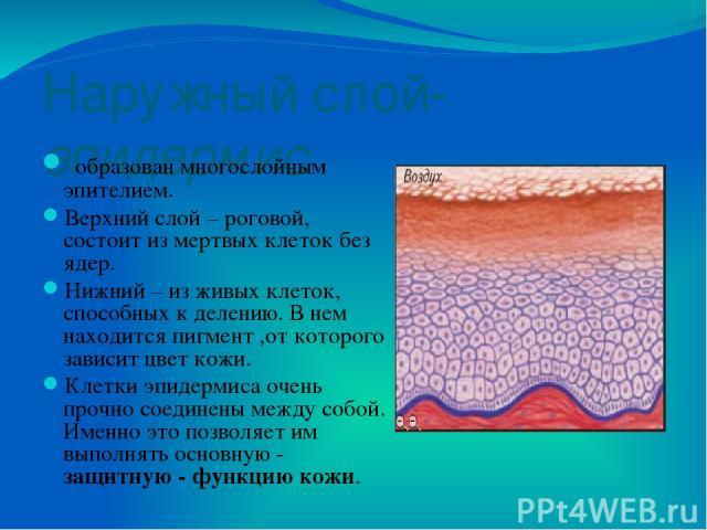 Внутренний слой –собственно кожа или дерма образован соединительной тканью. здесь находятся многочисленные рецепторы, которые воспринимают давление, боль, холод и тепло – кожная чувствительность. сальные и потовые железы, через которые удаляется изб…
