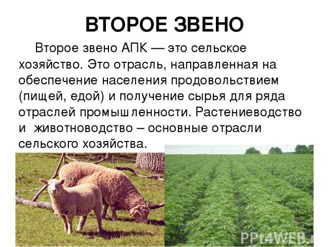 ВТОРОЕ ЗВЕНО Второе звено АПК — это сельское хозяйство. Это отрасль, направленная на обеспечение населения продовольствием (пищей, едой) и получение сырья для ряда отраслей промышленности. Растениеводство и животноводство – основные отрасли сельског…