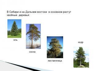 В Сибири и на Дальнем востоке в основном растут хвойные деревья: ель сосна листв