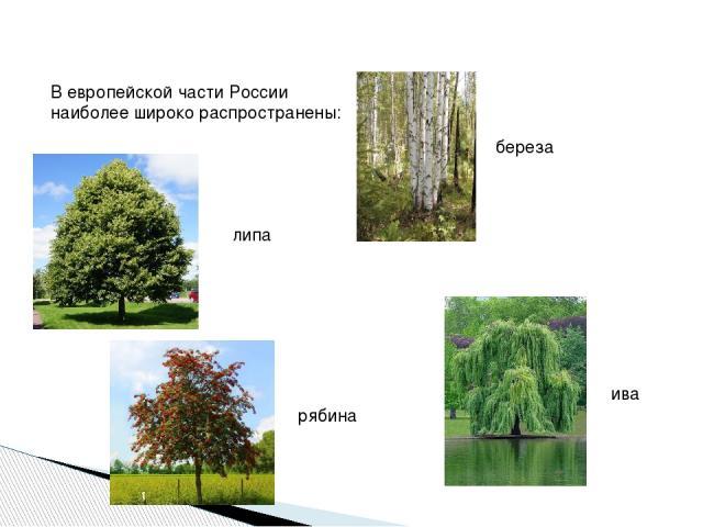 В европейской части России наиболее широко распространены: береза липа рябина ива