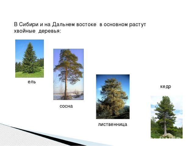 В Сибири и на Дальнем востоке в основном растут хвойные деревья: ель сосна лиственница кедр