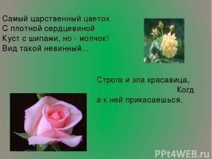 Самый царственный цветок С плотной сердцевиной Куст с шипами, но - молчок! Вид т