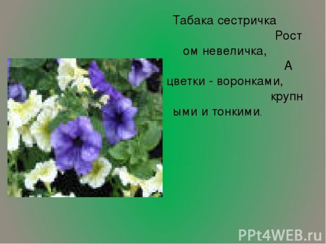 Табака сестричка Ростом невеличка, А цветки - воронками, крупными и тонкими.