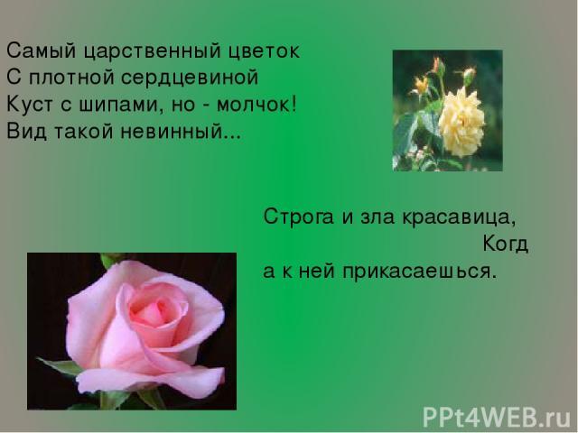 Самый царственный цветок С плотной сердцевиной Куст с шипами, но - молчок! Вид такой невинный... Строга и зла красавица, Когда к ней прикасаешься. …
