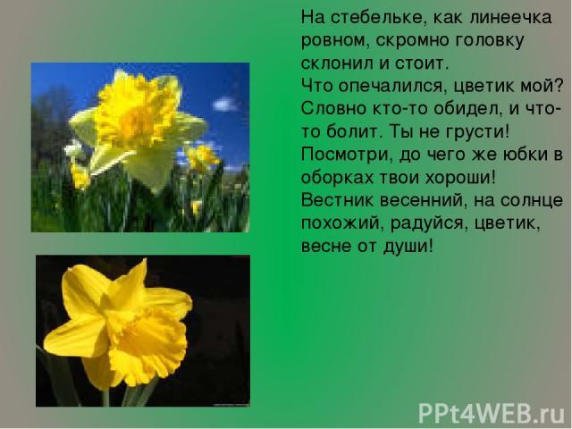 На стебельке, как линеечка ровном, скромно головку склонил и стоит. Что опечалился, цветик мой? Словно кто-то обидел, и что-то болит. Ты не грусти! Посмотри, до чего же юбки в оборках твои хороши! Вестник весенний, на солнце похожий, радуйся, цветик…