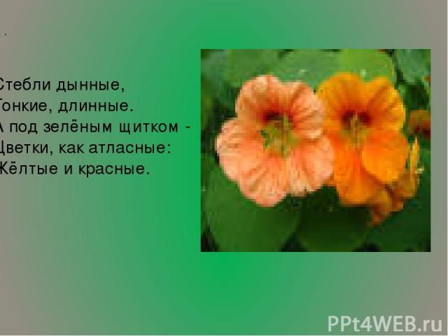 Стебли дынные, Тонкие, длинные. А под зелёным щитком - Цветки, как атласные: Жёлтые и красные. ,