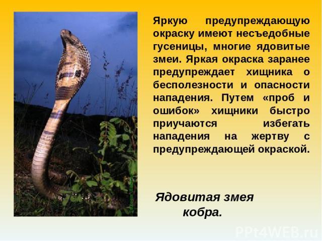 Яркую предупреждающую окраску имеют несъедобные гусеницы, многие ядовитые змеи. Яркая окраска заранее предупреждает хищника о бесполезности и опасности нападения. Путем «проб и ошибок» хищники быстро приучаются избегать нападения на жертву с предупр…