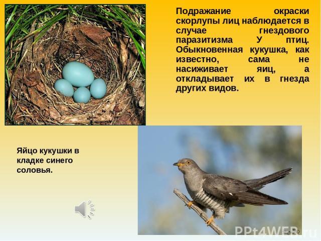 Подражание окраски скорлупы лиц наблюдается в случае гнездового паразитизма У птиц. Обыкновенная кукушка, как известно, сама не насиживает яиц, а откладывает их в гнезда других видов. Яйцо кукушки в кладке синего соловья.