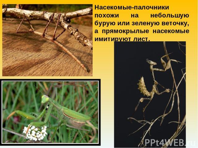 Насекомые-палочники похожи на небольшую бурую или зеленую веточку, а прямокрылые насекомые имитируют лист.
