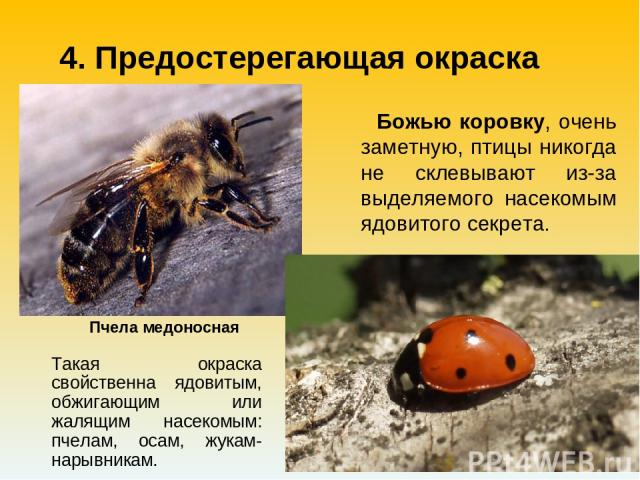 Такая окраска свойственна ядовитым, обжигающим или жалящим насекомым: пчелам, осам, жукам-нарывникам. Пчела медоносная 4. Предостерегающая окраска Божью коровку, очень заметную, птицы никогда не склевывают из-за выделяемого насекомым ядовитого секрета.