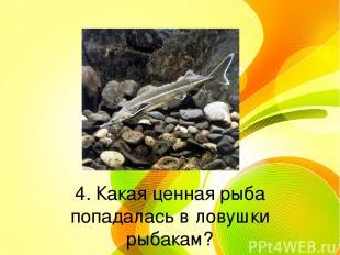 4. Какая ценная рыба попадалась в ловушки рыбакам?