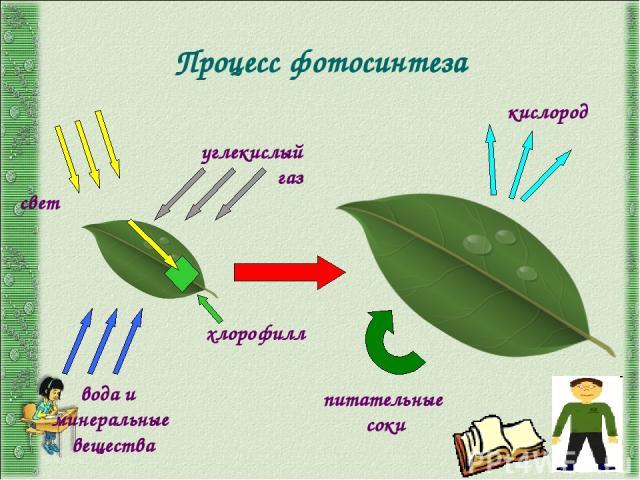 Условия фотосинтеза хлорофилл