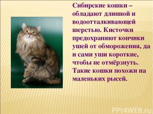 Сибирские кошки – обладают длинной и водоотталкивающей шерстью. Кисточки предохр