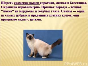 Шерсть сиамских кошек короткая, мягкая и блестящая. Окрашена неравномерно. Призн