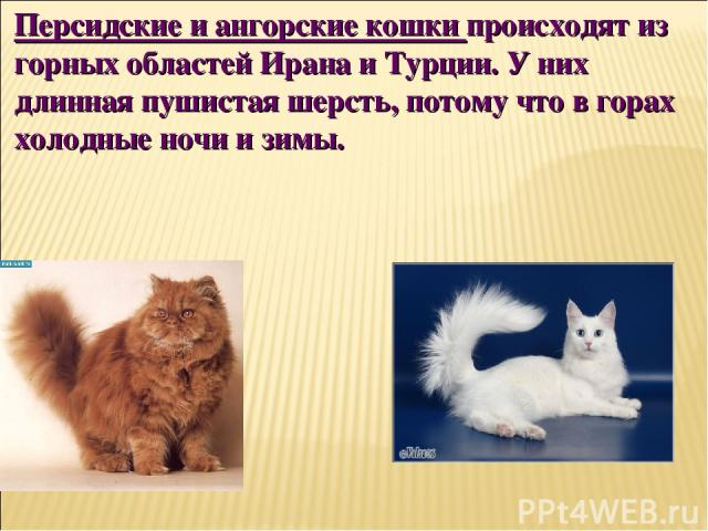 Персидские и ангорские кошки происходят из горных областей Ирана и Турции. У них длинная пушистая шерсть, потому что в горах холодные ночи и зимы.