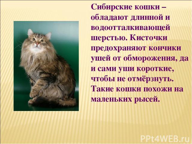 Сибирские кошки – обладают длинной и водоотталкивающей шерстью. Кисточки предохраняют кончики ушей от обморожения, да и сами уши короткие, чтобы не отмёрзнуть. Такие кошки похожи на маленьких рысей.