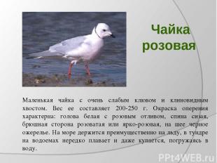Чайка розовая Маленькая чайка с очень слабым клювом и клиновидным хвостом. Вес е