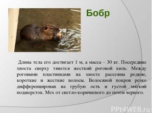 Бобр Длина тела его достигает 1 м, а масса – 30 кг. Посередине хвоста сверху тян